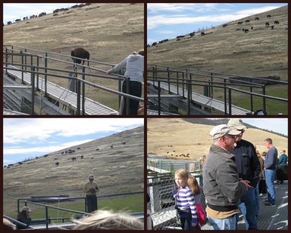 Bison collage 3